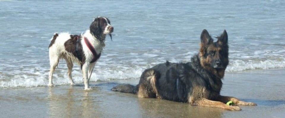 On a beach by the edge of the sea aSpringer spaniel stands behind a German Shepherd who is lying down