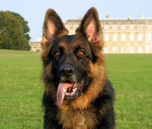 Khanu, German Shepherd Dog, sitting in front of Petworth House