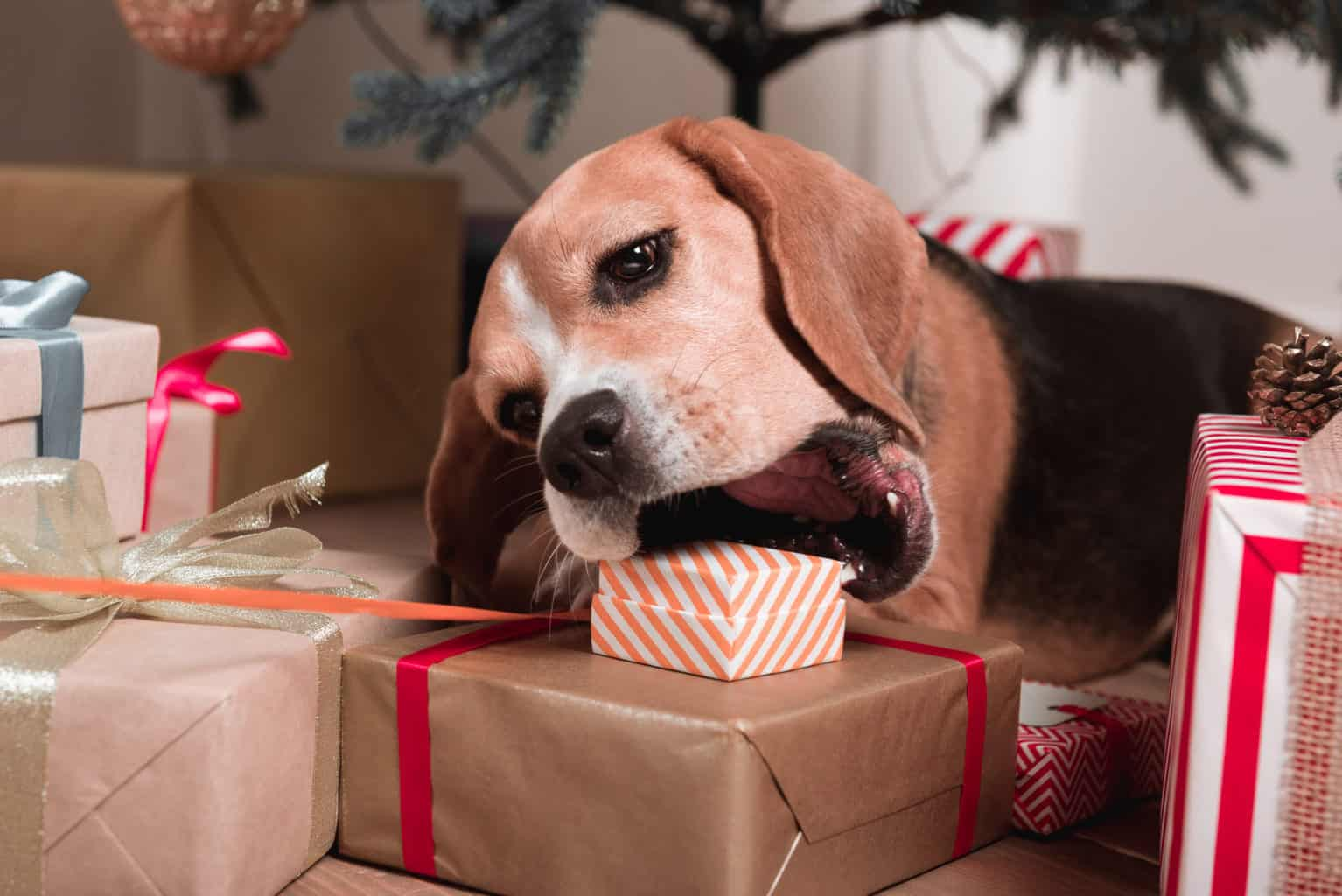 Beagle chewing Christmas present left under the tree