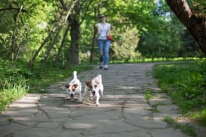 Jack Russell Terriers pulling at far end of their extending leads, far away from the owner
