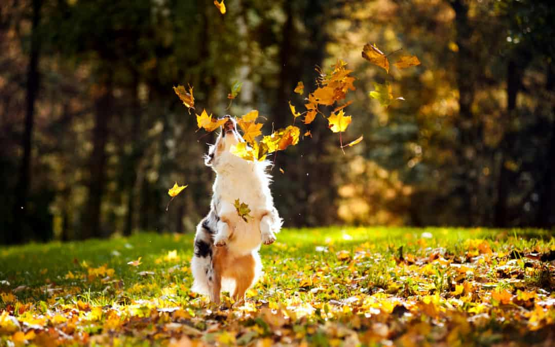 Young Australian Shepherld playing with fallen leaves