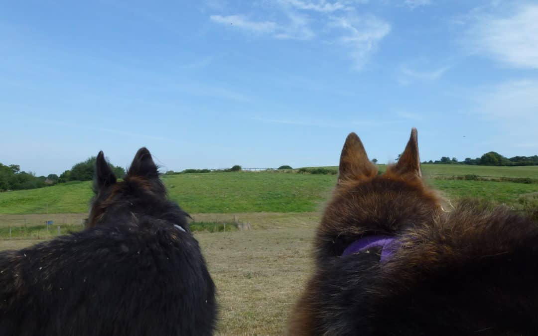 2 German Shepherds look out over a field