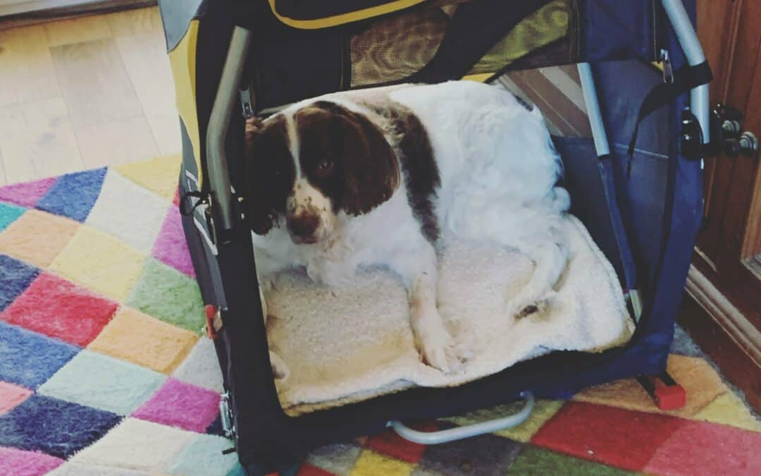 Spring spaniel lies in a dog buggy on the floor wihtout wheels attached.