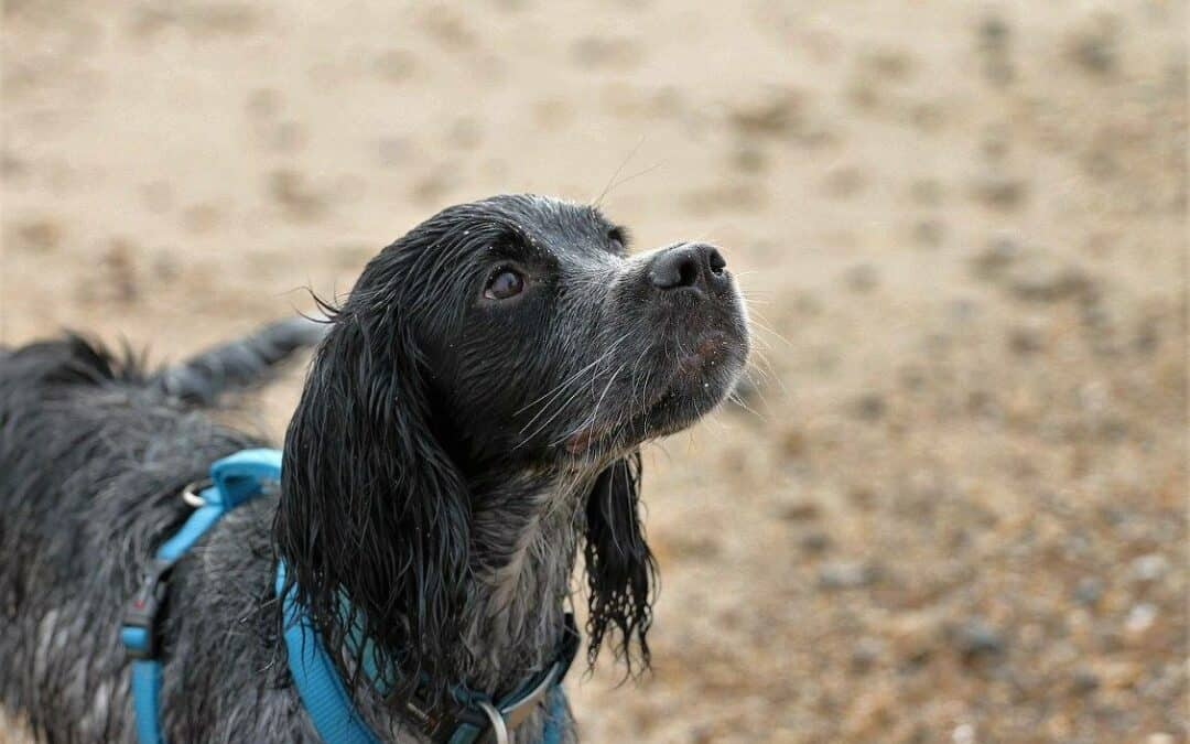 Blue roan cocker spaniel on the beach standing looking up at handler off camera
